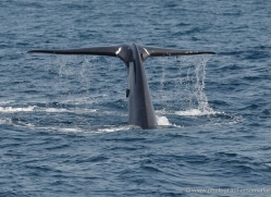 whale-whale-watching-sri-lanka-2862-copyright-photographers-on-safari-com
