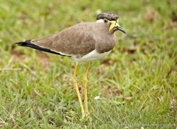 yellow-wattled-plover-sri-lanka-2900-copyright-photographers-on-safari-com