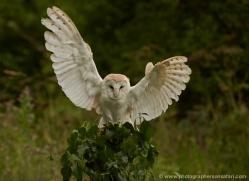 barn-owl-294-copyright-photographers-on-safari-com