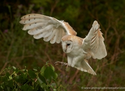 barn-owl-295-copyright-photographers-on-safari-com