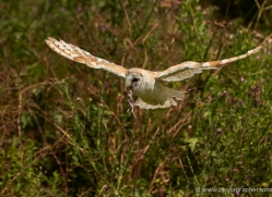 barn-owl-297-copyright-photographers-on-safari-com
