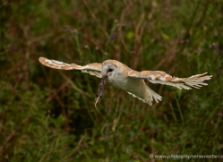 barn-owl-300-copyright-photographers-on-safari-com