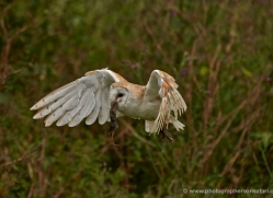 barn-owl-301-copyright-photographers-on-safari-com