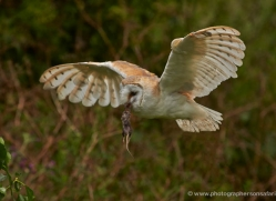barn-owl-302-copyright-photographers-on-safari-com
