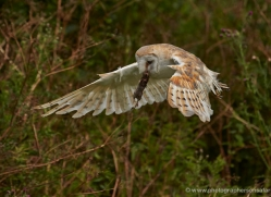 barn-owl-306-copyright-photographers-on-safari-com