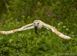 barn-owl-310-copyright-photographers-on-safari-com