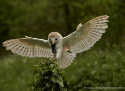 barn-owl-311-copyright-photographers-on-safari-com
