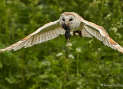 barn-owl-312-copyright-photographers-on-safari-com