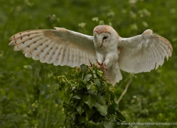 barn-owl-313-copyright-photographers-on-safari-com