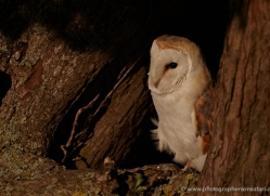 barn-owl-314-copyright-photographers-on-safari-com