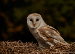 barn-owl-315-copyright-photographers-on-safari-com