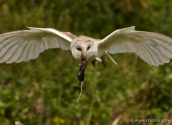barn-owl-316-copyright-photographers-on-safari-com