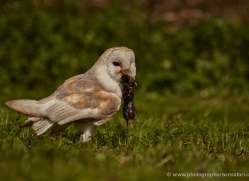 barn-owl-318-copyright-photographers-on-safari-com