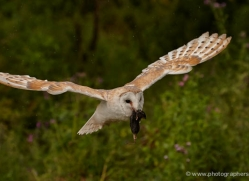 barn-owl-320-copyright-photographers-on-safari-com