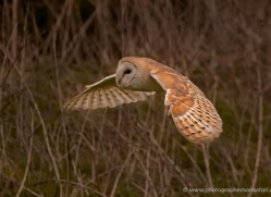 barn-owl-323-copyright-photographers-on-safari-com