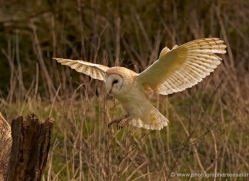 barn-owl-324-copyright-photographers-on-safari-com