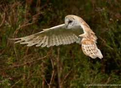 barn-owl-296-copyright-photographers-on-safari-com