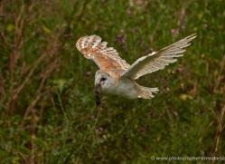 barn-owl-299-copyright-photographers-on-safari-com