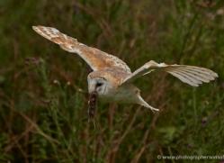 barn-owl-304-copyright-photographers-on-safari-com