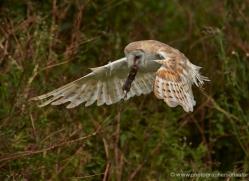 barn-owl-306-copyright-photographers-on-safari-com