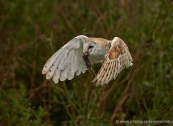 barn-owl-307-copyright-photographers-on-safari-com