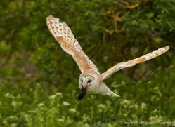 barn-owl-309-copyright-photographers-on-safari-com