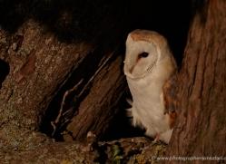 barn-owl-314-copyright-photographers-on-safari-com