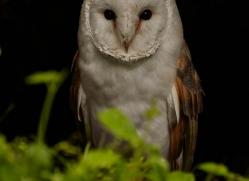barn-owl-321-copyright-photographers-on-safari-com