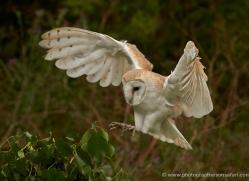 barn-owl-295-copyright-photographers-on-safari-com