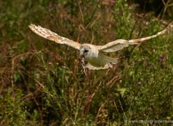 barn-owl-297-copyright-photographers-on-safari-com