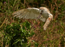 barn-owl-298-copyright-photographers-on-safari-com