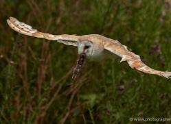 barn-owl-303-copyright-photographers-on-safari-com