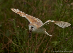 barn-owl-304-copyright-photographers-on-safari-com