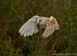 barn-owl-307-copyright-photographers-on-safari-com