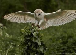 barn-owl-308-copyright-photographers-on-safari-com