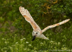 barn-owl-309-copyright-photographers-on-safari-com
