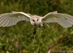 barn-owl-316-copyright-photographers-on-safari-com