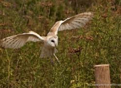 barn-owl-325-copyright-photographers-on-safari-com