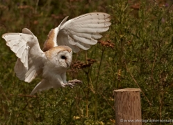 barn-owl-326-copyright-photographers-on-safari-com