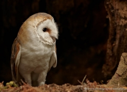 barn-owl-327-copyright-photographers-on-safari-com