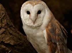 barn-owl-328-copyright-photographers-on-safari-com