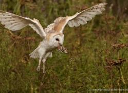 barn-owl-329-copyright-photographers-on-safari-com