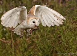 barn-owl-330-copyright-photographers-on-safari-com