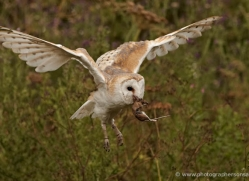 barn-owl-331-copyright-photographers-on-safari-com