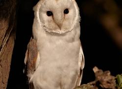 barn-owl-335-copyright-photographers-on-safari-com