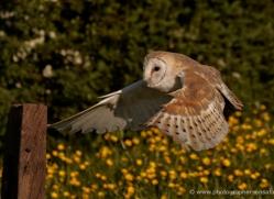 barn-owl-336-copyright-photographers-on-safari-com