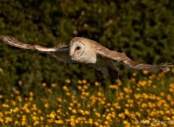 barn-owl-337-copyright-photographers-on-safari-com