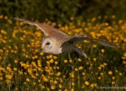 barn-owl-338-copyright-photographers-on-safari-com