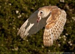 barn-owl-339-copyright-photographers-on-safari-com