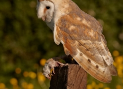 barn-owl-340-copyright-photographers-on-safari-com